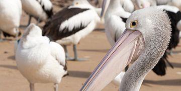 Pelicanen wachtend op voer, Philip Island van Chris van Kan