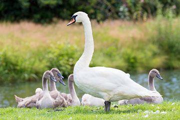 Witte moeder zwaan met jonge kuikens van Ben Schonewille