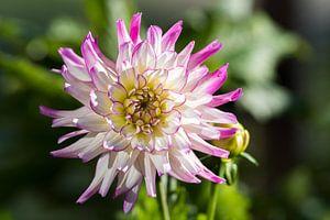 Dahlia roze  van