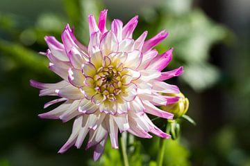 Dahlia roze  van Elbertsen Fotografie