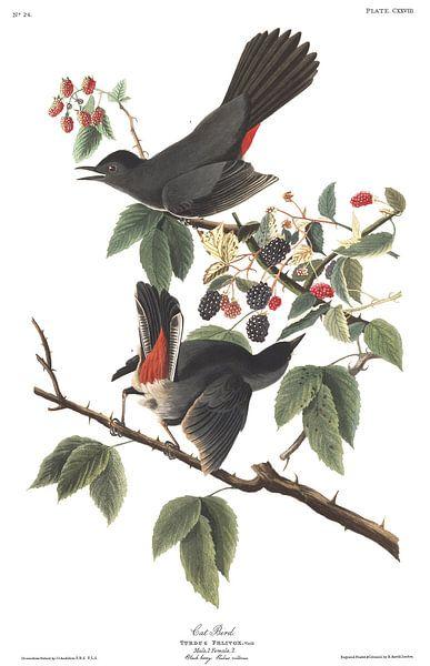 Katvogel van Birds of America