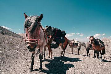 Rustende paarden in de bergen van Mickéle Godderis
