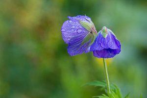 Color me purple van Monique Laats=Wind