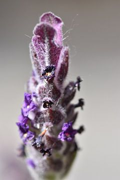 Macro van paarse lavendel van Daphne van der straaten