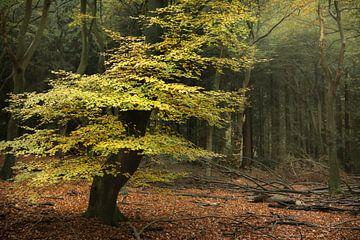 Boom in kleurrijk herfstbos van Peter Bolman