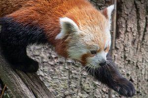 Laufender kleiner Panda