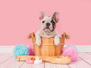 Frans buldog puppy in bad van