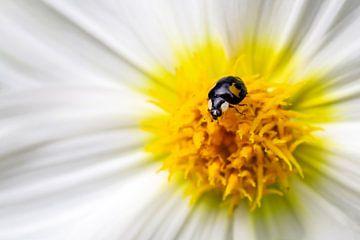 Zwart lieveheersbeestje op een witte dahlia van Annika Westgeest Photography