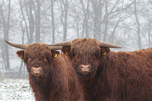 Highlander im Schnee