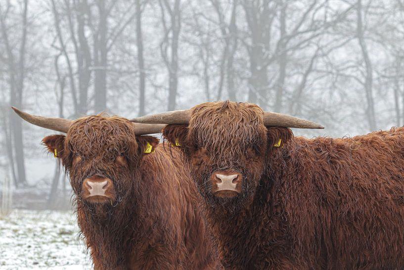 Highlander im Schnee von Anjo ten Kate