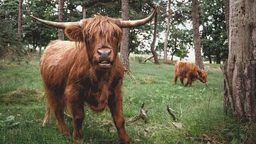 Scottish Highlander avec un jeune veau sur Paul Hemmen
