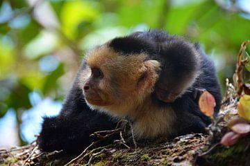 Kapucijnaap met jong Costa Rica van My Footprints