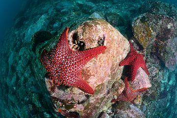 Rode zeester op rots von Jaap Voets