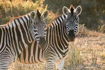 2 Zebra's von Nathalie van der Klei