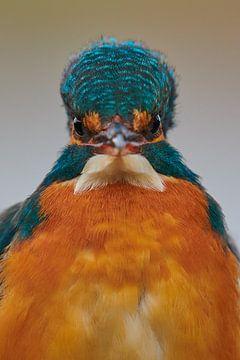 Eisvogel - was schauen Sie sich an?