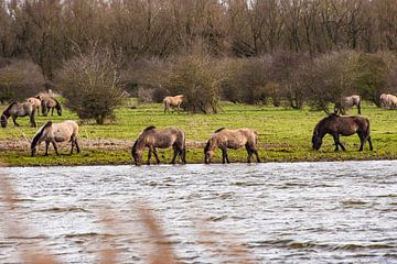Konikpaarden in Flevoland van Brian Morgan