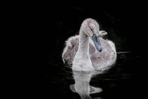 Jonge zwaan van