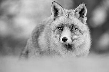 Vossenportret in zwart-wit van