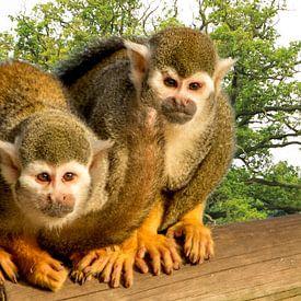 Twee kleine aapjes op een boomstam van Adriana Zoon