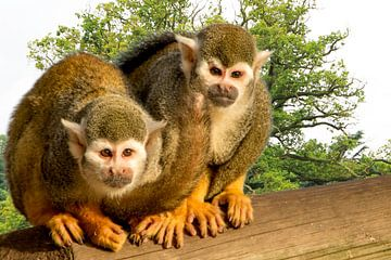 Zwei kleine Affen auf einem Baumstamm von Adriana Zoon