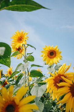 Sommersonnenblumen in der Spätsommersonne in Almere, Niederlande von Evelien Lodewijks