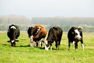 Koeien von Anuska Klaverdijk