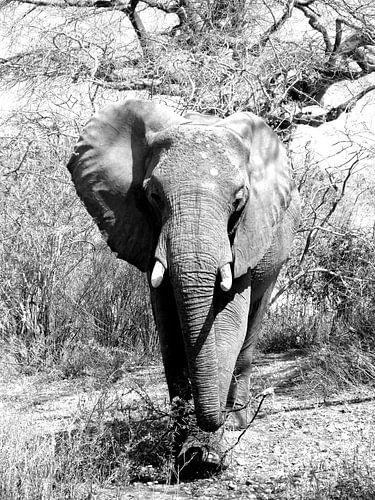 Naderende Afrikaanse olifant van Zoe Vondenhoff