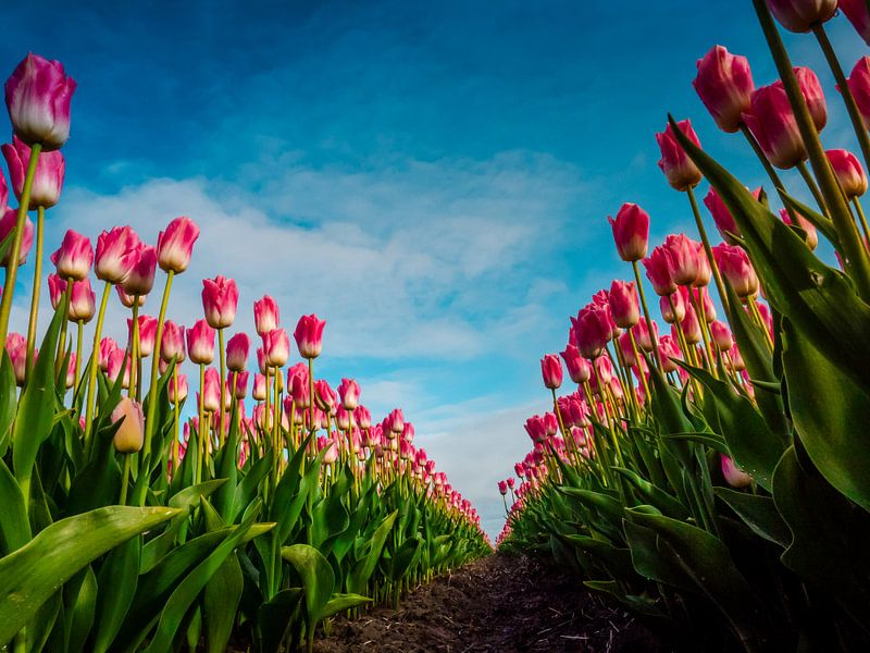 Roze tulpen in kikkerperspectief