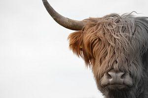 Kop Schotse hooglander 2 kleurig