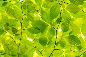 Minzgrüne Frühlingsblätter