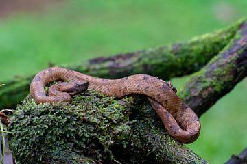 Schlange Costa Rica von Merijn Loch