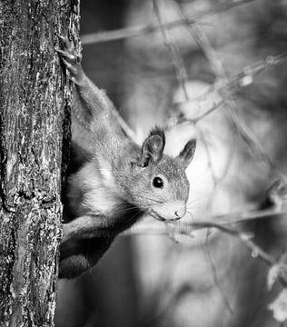Porträt eines Eichhörnchens in Schwarzweiß von Marjolein van Middelkoop