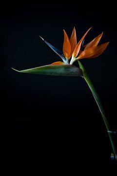 Strelitzia Paradiesvogel-Blume von Florence Schmit