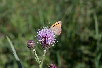 Kleiner Feuer-Schmetterling von Michel Zwart