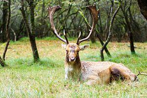 Hert ligt fier in het groene gras uit te rusten