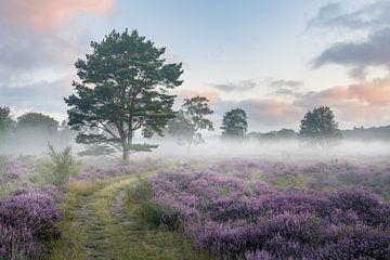 Heide in bloei met mist van Laak10 (Daryl Oeben)
