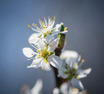 Spring Blossom von Alex Hiemstra