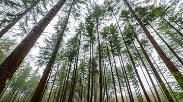 Kiefern in einem Wald während eines nebeligen Tages zu Beginn des Winters von Sjoerd van der Wal