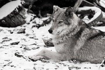 La beauté de profil est imposante. Femelle loup gris dans la neige, bel animal fort en hiver. sur Michael Semenov