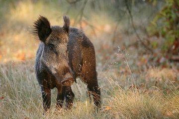 Wild zwijn van Bernard Stam