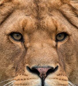 Leeuwin close-up van Marjolein van Middelkoop