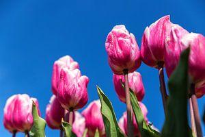 Roze en witte tulpen van Elly Damen