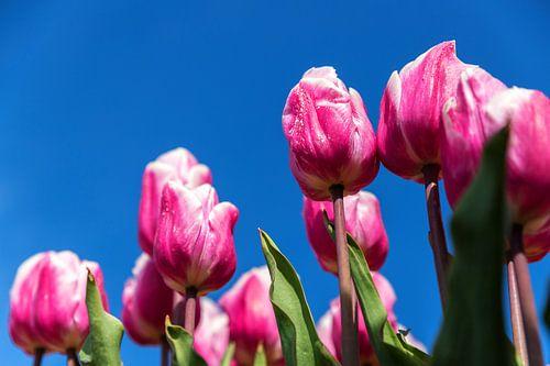 Roze en witte tulpen