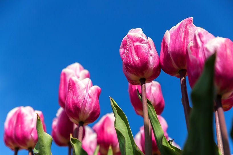 Tulipes roses et blanches sur Elly Damen