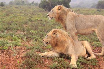 Zwei wilde afrikanische Löwen von Bobsphotography