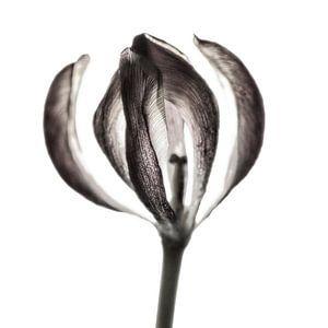 Tulip II  van