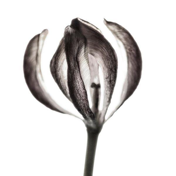 Tulip II  van Cor Ritmeester