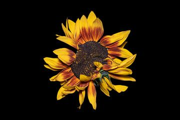 Ein Foto einer 'wilden' Sonnenblume von Ribbi The Artist