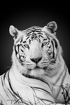 Weißer Tiger von Ramon Vloon