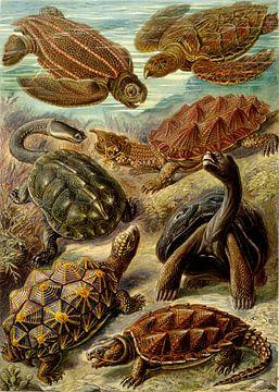 Schildpadden, Ernst Haeckel van Meesterlijcke Meesters